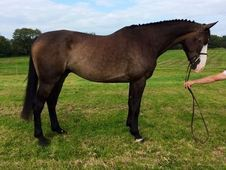 Show Jumpers horse - 5 yrs 17. 2 hh - East Sussex