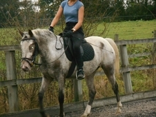 British Spotted Sports Pony, 14hh, Grey Marble Mare