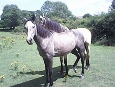Lovely Grey Gelding For Sale, Height 1. 56 (15. 2h).