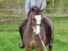 All Rounder horse - 5 yrs 2 mths 11.2 hh Bay Roan - North Yorkshire