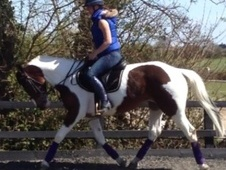 All Rounder horse - 6 yrs 15.2 hh Skewbald - Essex