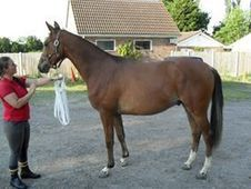 what a jump! ! - 16. 1 WB Gelding 5 years - Essex - £1, 650 ono