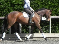 All Rounder horse - 6 yrs 3 mths 16.1 hh Bay - West Sussex