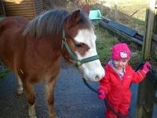 Small Adult/ Teen 11. 2hh Chestnut Welsh Sec A Gelding 11yrs