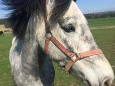 15hh Connemara gelding with super potential