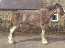 All Rounder horse - 3 yrs 17.1 hh Roan - West Lothian