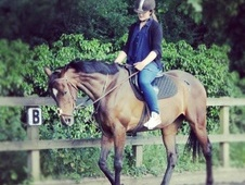 Lovely 16.1 HH Thoroughbred for Loan - Kent