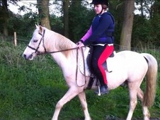 13. 2hh Palomino Welsh Section B