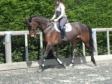All Rounder horse - 9 yrs 2 mths 16.3 hh Bay - West Sussex