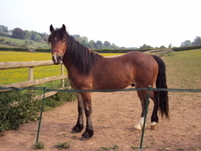 14. 1hh Beautiful Welsh Cob For Sale