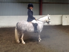 Lacy Bobby 7yr Welsh Section A