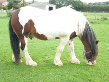 Gorgeous 15. 2hh Traditional Chunky Coloured Cob Gelding