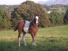 Show Quality Coloured Colt Foal