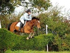 Show Jumpers horse - 7 yrs 14.2 hh Bay - Humberside