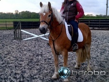 All Rounder horse - 16 yrs 14.3 hh Chestnut - Essex
