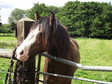 Two Year Old Cob Gelding