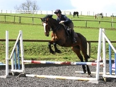 Sports Horses horse - 4 yrs 16.0 hh Bay - Cheshire