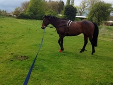 16. 2 Stocky Tb Gelding For Sale, Hacking And Light Schooling