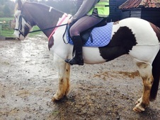 Sweet coloured cob for sale.