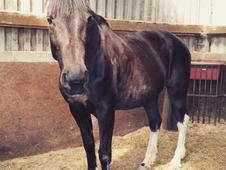 17. 1hh 11year old mare by dextas puzzle