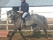 All Rounder horse - 6 yrs 15.0 hh Grey - Cheshire