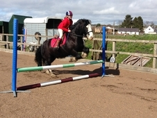 Super 14hh 11 Yr Old Black Cob Gelding