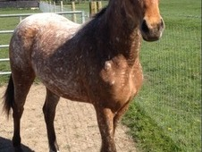 Beautifully marked Appaloosa filly