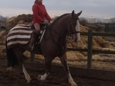All Rounder horse - 7 yrs 6 mths 16.1 hh Bay - Essex