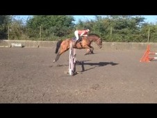 Smart And Talented Gelding