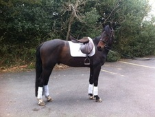 Eventers horse - 4 yrs 3 mths 15.2 hh Dark Bay - Staffordshire