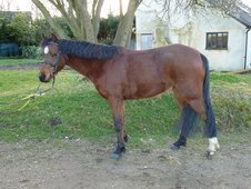 Welsh part bred mare, showing potential