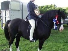 All Rounder Horse - 12 Yrs 13. 2 Hh Black - Powys