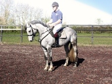 All Rounder horse - 7 yrs 1 mth 16.2 hh Dapple Grey - Essex