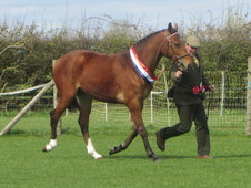 County Standard 2 year old Sport Horse