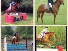 16. 1hh. Chestnut. 14yrs. Ideal PC/RC/Happy Hacker