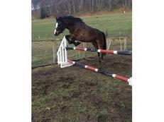 13hh Section B Bay Mare