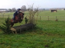 Not To Be Missed 14. 3hh Bay, 5 Years Old, Irish Sports Horse, Ge...