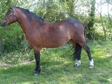Mountain & Moorland horse - 5 yrs 11.3 hh Bright Bay - Wiltshire