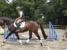 16. 1 7yr Old Irish Sports Horse Gelding