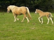 Fairytale Palomino Colt Foal