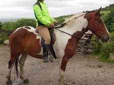 15. 3 ish Coloured Gelding 5yrs old do anything go anywhere horse.
