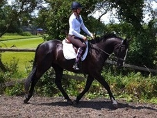 All Rounder horse - 7 yrs 1 mth 16.0 hh Black - Berkshire