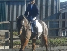 All Rounder horse - 4 yrs 8 mths 15.2 hh Bay - West Yorkshire