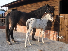 Appaloosa mare and filly foal