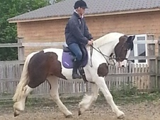 All Rounder horse - 10 yrs 15.1 hh Coloured - Cheshire