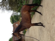 Top Class Dressage/showing Filly