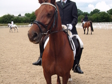 Stunning 13. 2hh Welsh Section C