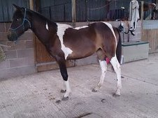 Tb X Coloured Filly For Sale