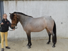3 Year Dartmoor Hill Filly