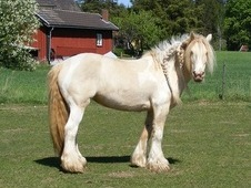 Gentle Irish Cob Mare for Sale